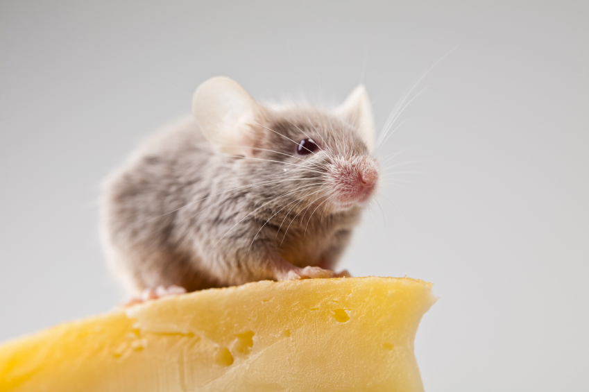 mouse-on-cheese